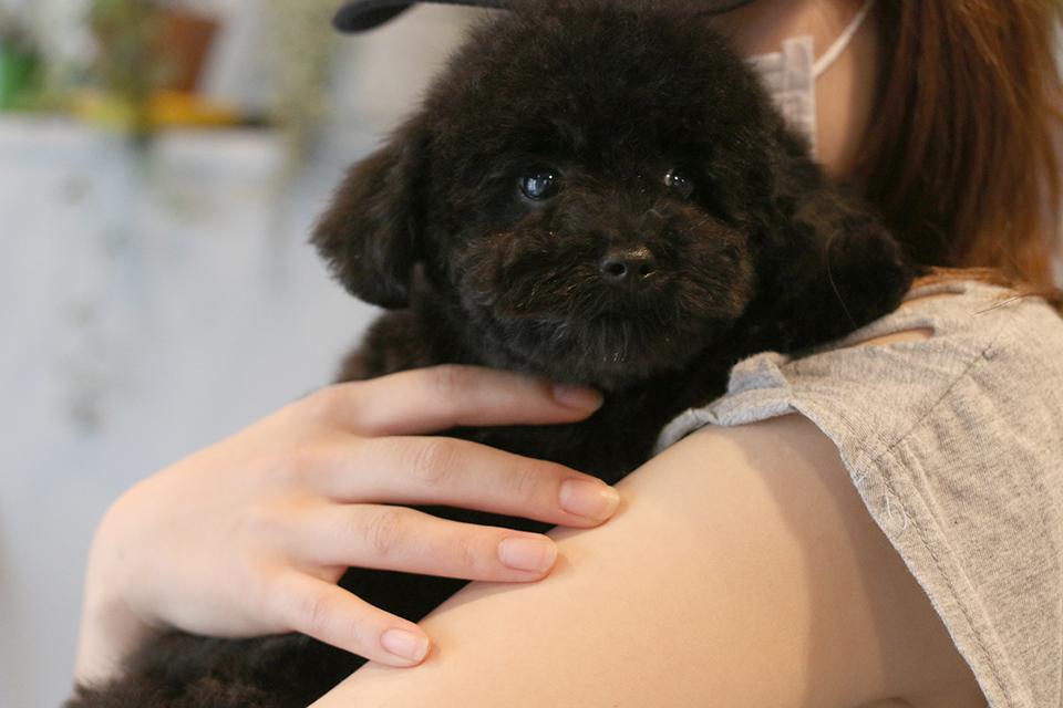 4ヶ月のトイプードルの仔犬