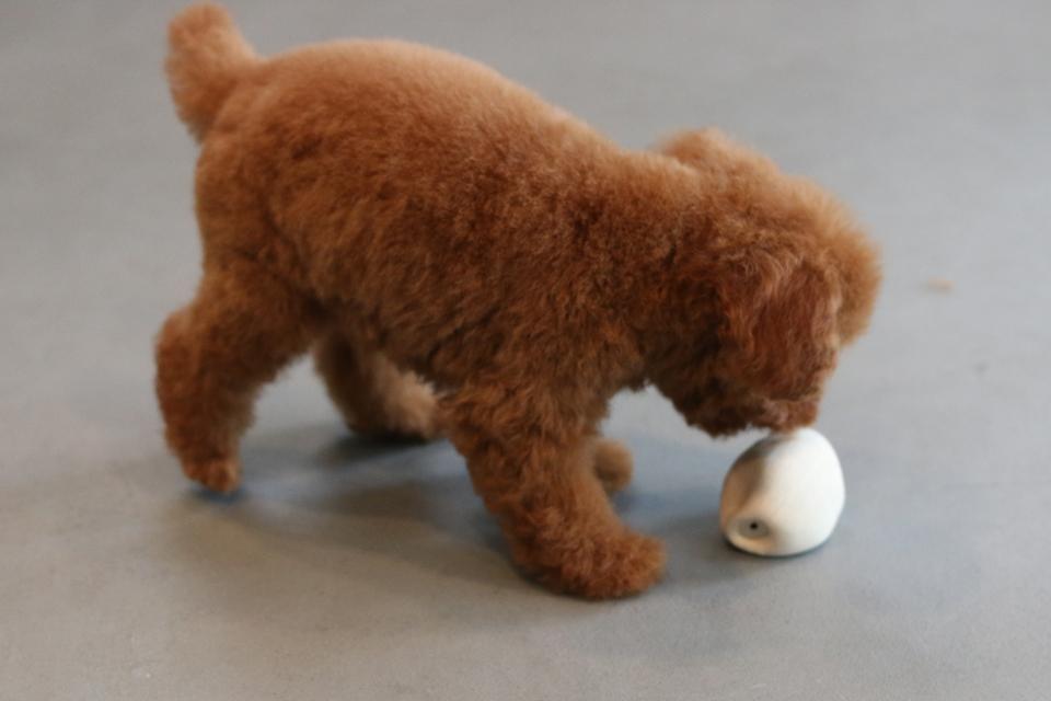 トリミングの終わったトイプードルの仔犬