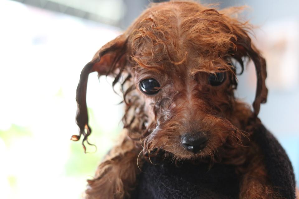 トイプードルの仔犬、初めてのシャンプー