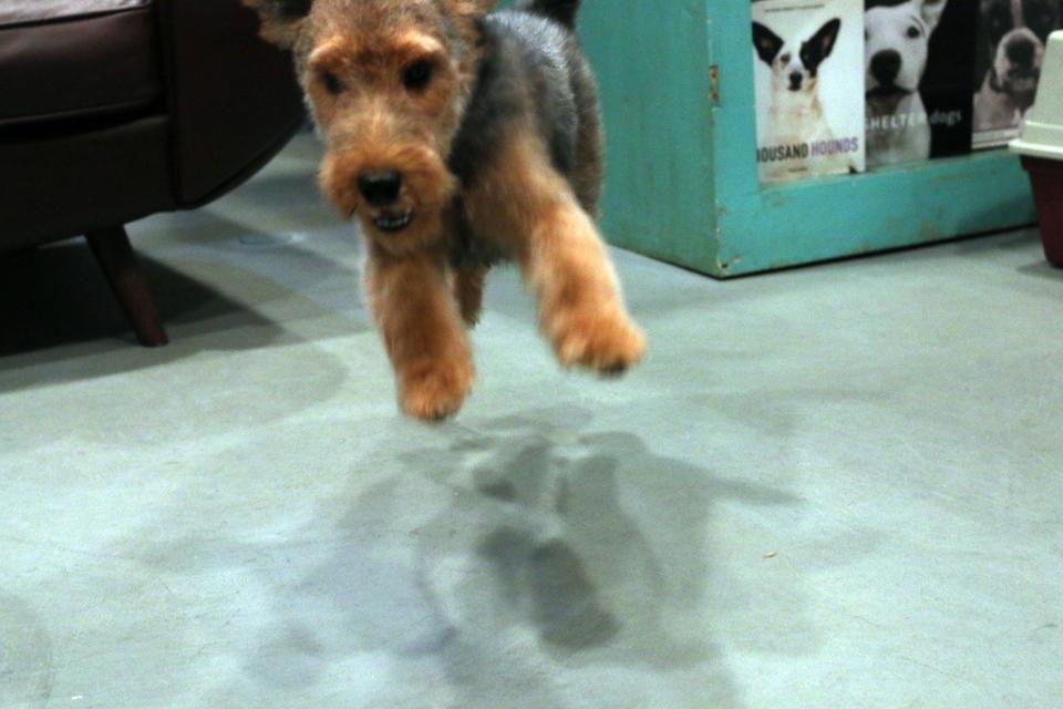 はしゃぐウェルシュテリアの仔犬