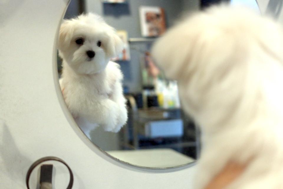 鏡を見るマルチーズの仔犬