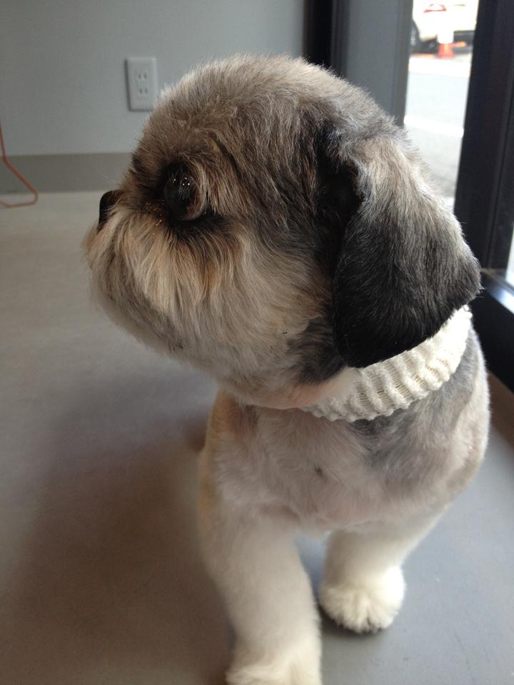 シーズーの老犬「サスケ」