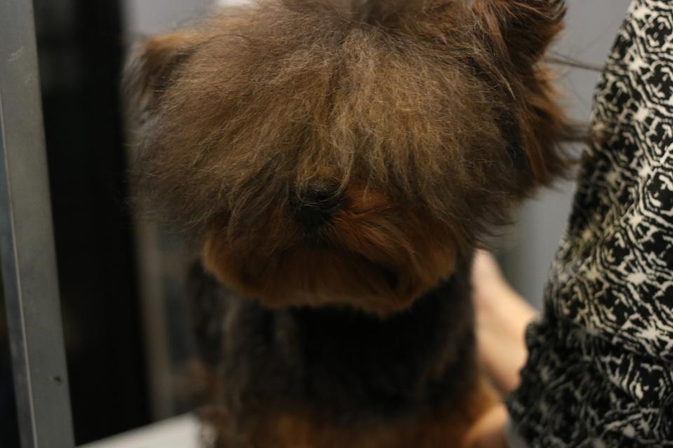 トイプードルとヨーキーのミックス犬、ぷくちゃん