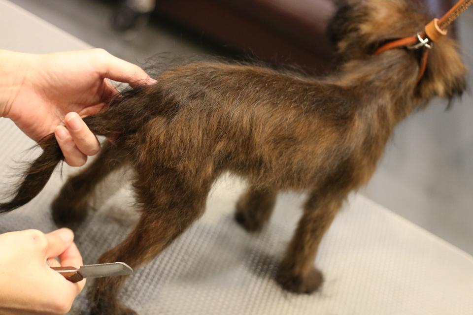 トイプードルとブリュッセルグリフォンのミックス犬