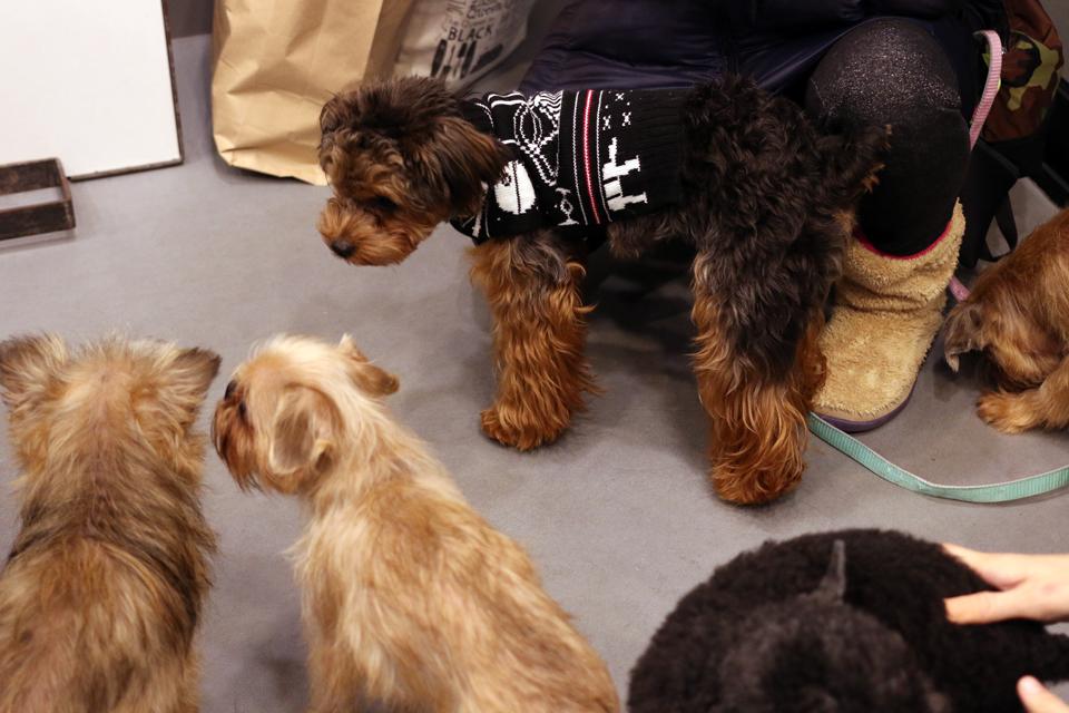 トイプードルとヨーキーのミックス犬とグリフォンたち