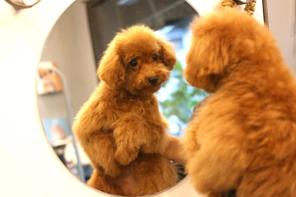 鏡に写った自分の姿を見るトイプードル