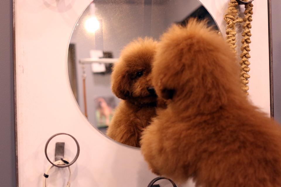 鏡を見るトイプードルのウィリアムくん