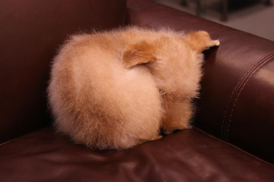 猫のように丸まって寝ているレークランドテリア