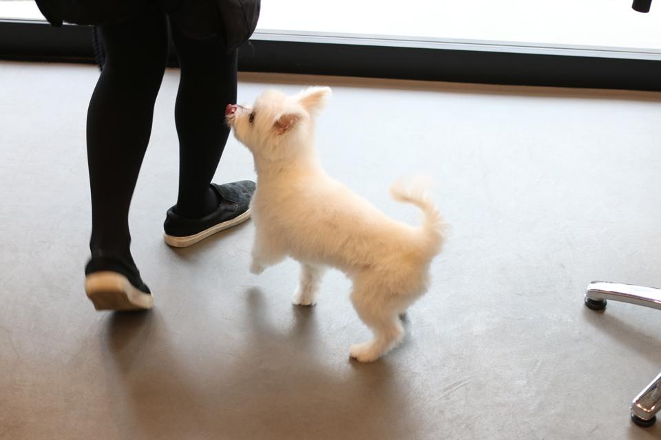 マルチーズとチワワのミックス犬、ししちゃん