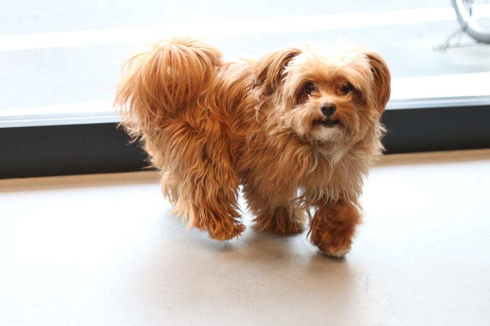 トイプードルとチワワのミックス犬、ラムネちゃん