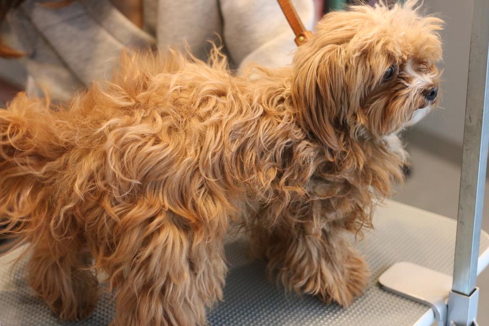 トイプードルとチワワのミックス犬、ラムネちゃんのブラッシング