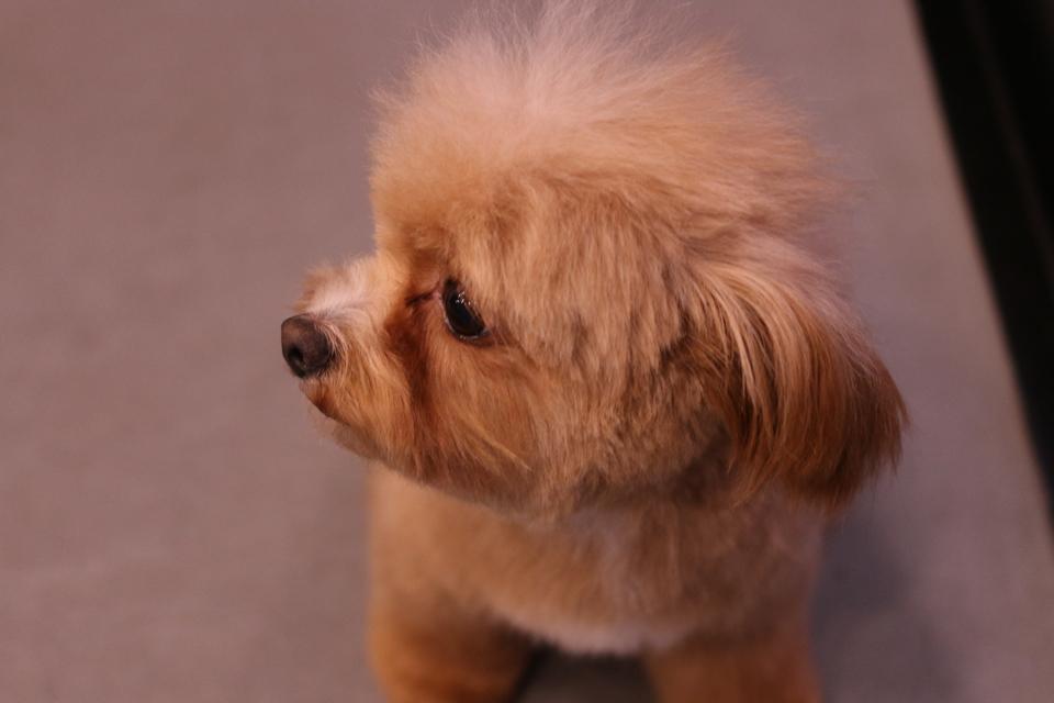 トイプードルとチワワのミックス犬