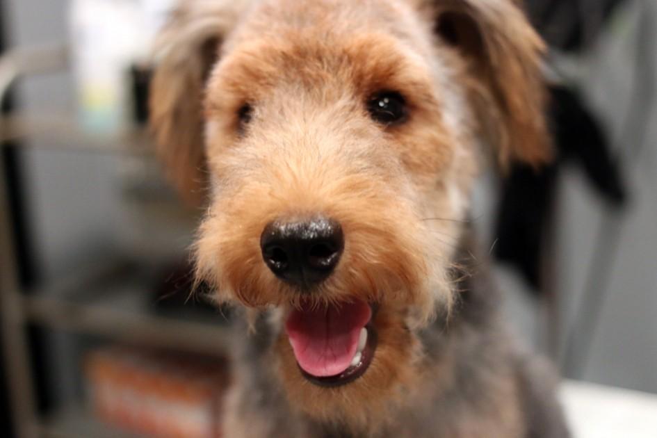 ウェルシュテリアの仔犬、ベッキーちゃんのプラッキング