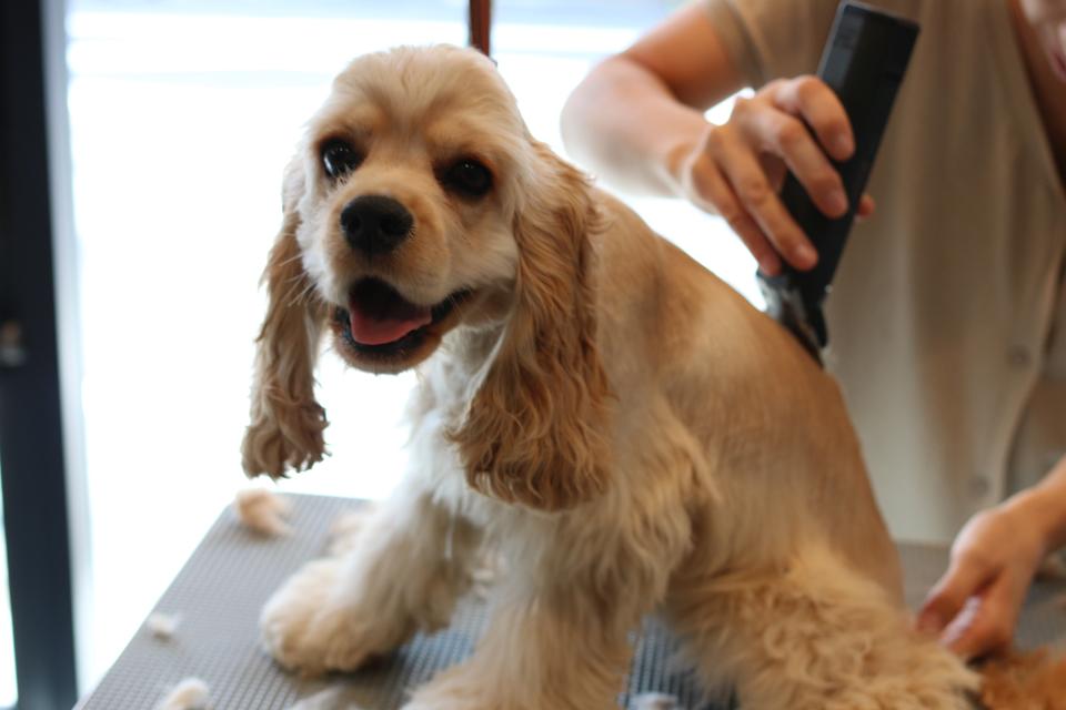 トリミング中のアメリカンコッカースパニエルの仔犬