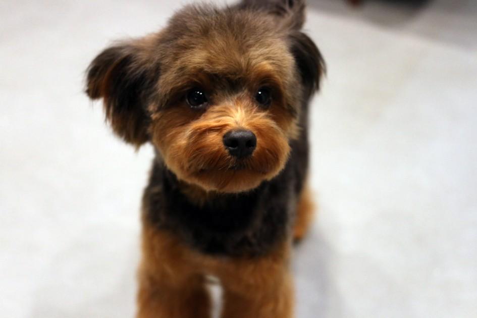 トイプードルとヨーキーのミックス犬。ぷくちゃん♡
